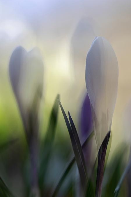 Het is lente! - Twee foto's in de camera samengevoegd  met de functie meervoudige belichting.   Bedankt voor de fijne reacties bij mijn vorige opname, erg blij mee - foto door Dodsi op 01-03-2021 - deze foto bevat: macro, wit, bloem, lente, natuur, krokus, bokeh, meervoudige belichting