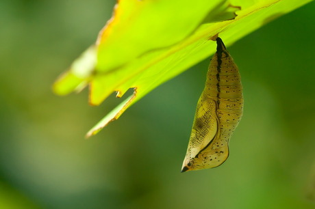 vlinderpop