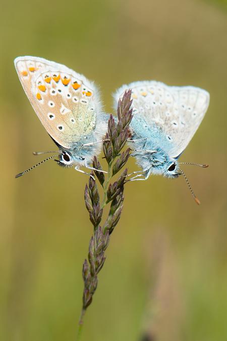 Parende blauwtjes - - - foto door marcelout op 29-05-2014 - deze foto bevat: macro, vlinder, awd