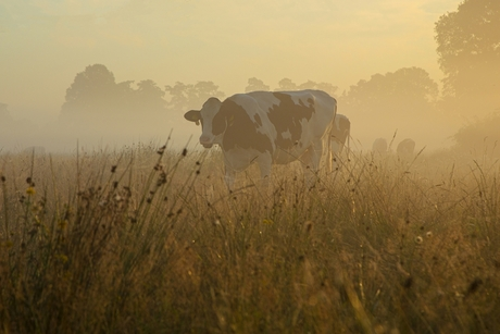 Koe bij zonsopkomst