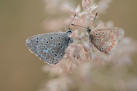 love is in the air - - - foto door DianaMieras op 30-07-2018 - deze foto bevat: macro, vlinder, blauwtje, zomer, insect