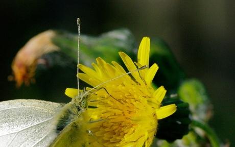Vlinder met paardebloem