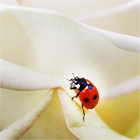 Lieveheersbeestje aan de klim