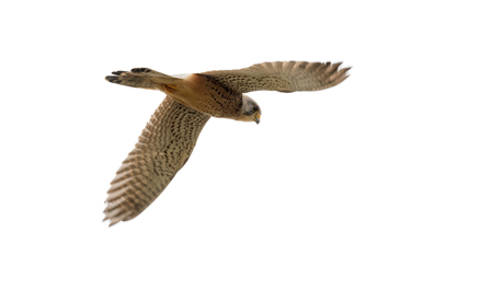 Torenvalk (Falcus tinnunculus)