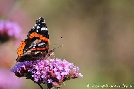 late vlinder? 10 oktober 2014