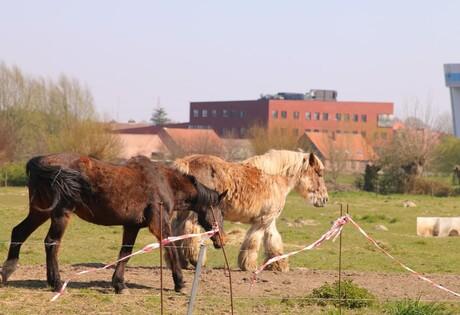 twee paardjes in de wei