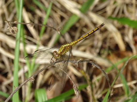 Gouden Libelle