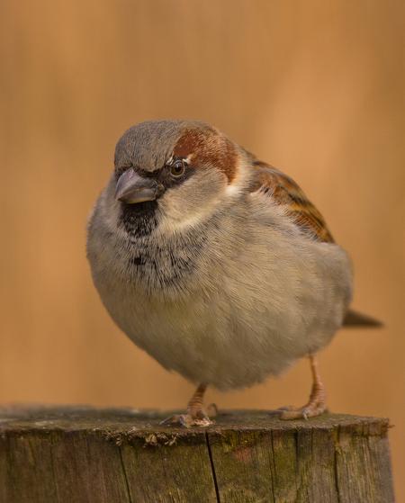 *****Gewoon Huismussie II***** - Gewoon Huismussie...!!!  Bedankt voor de geweldige reacties op mijn *****hallo...is daar iemand*****  Fijne nacht!  Groet, Ruud - foto door kyano09 op 24-02-2013 - deze foto bevat: foto, kleur, nature, natuur, vogels, mus, dieren, vogel, mussen, dier, musje, huis, fotografie, musjes, fotos, mussie, Huismussie