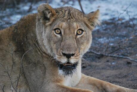 Leeuwin in Krugerpark