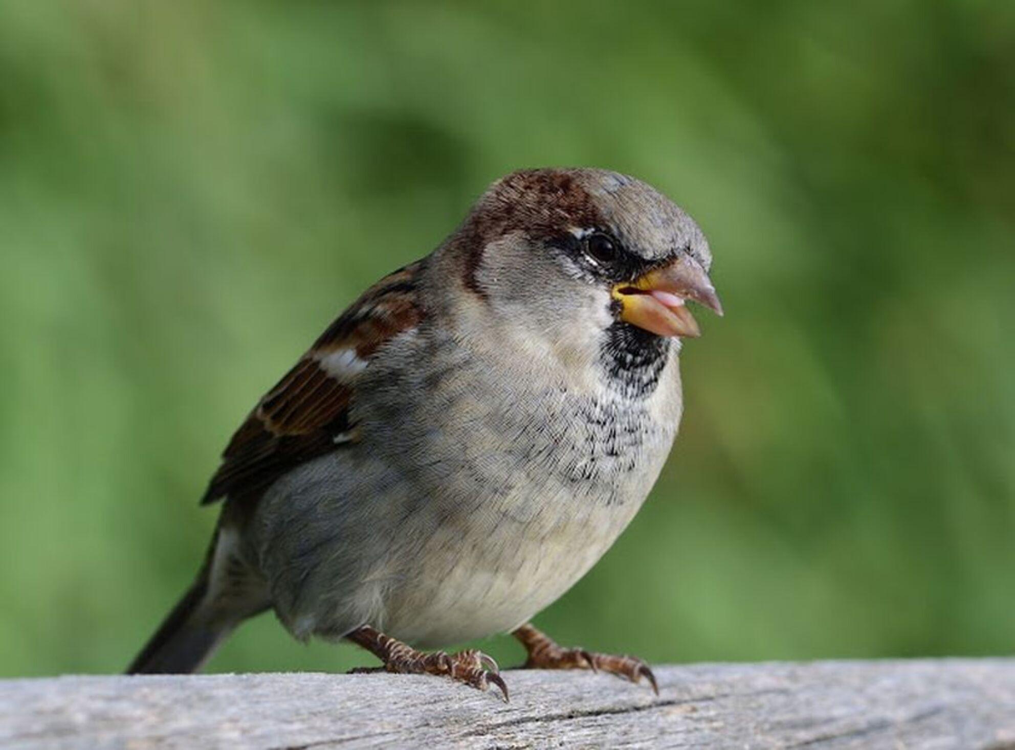 Musje op een hek 2 - Musje op een hek, dit is de 2e opname uit een serie die ik van het vogeltje heb kunnen maken..  Zoomers bedankt voor alle mooie reacties bij mijn  - foto door jzfotografie op 23-04-2017 - deze foto bevat: groen, kleuren, hek, vogels, bruin, klein, park, mus, dieren, nederland, achtergrond, grijs, contrast, snavel, dof, scherpte, bek, heemskerk, assumburg, verenkleed, n-h, close up, oud haerlem