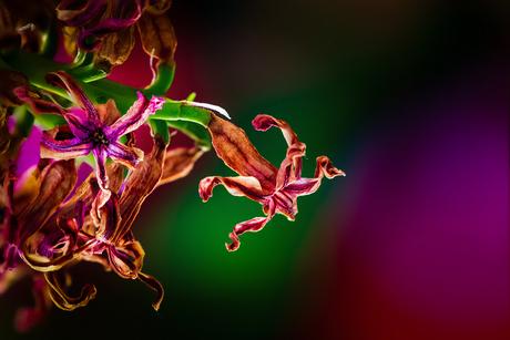 Hyacint op de late leeftijd