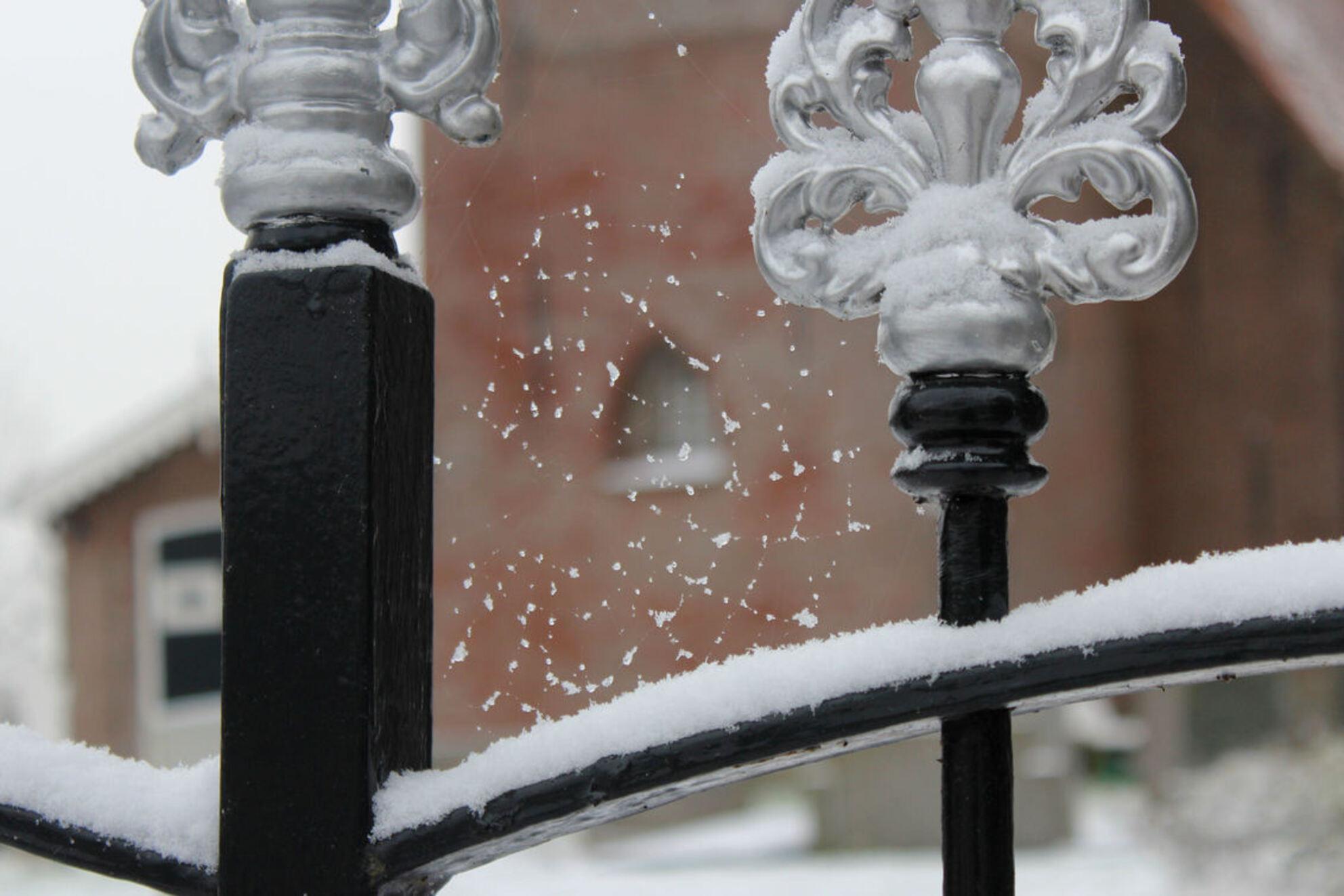 eerste sneeuw, tere vorm - Vanmorgen 4 jan. 2016. De eerste sneeuw van deze winter. Even rondje door dorp gemaakt. Bij het kerkje zag ik dit web aan het hekwerk. - foto door ljdrost op 04-01-2016 - deze foto bevat: sneeuw, winter, teer, ljdrost, nw jaar-1e sneeuw, web met sneeuw - Deze foto mag gebruikt worden in een Zoom.nl publicatie