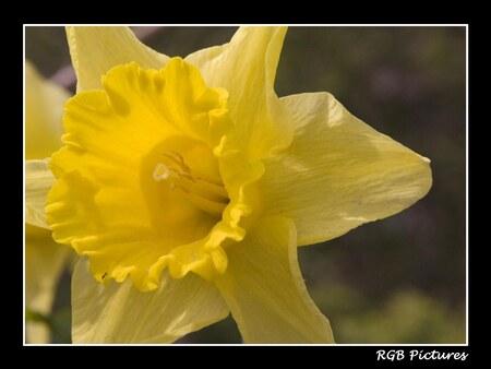 Narcis - Nu een upload van deze bloem na enkele cursusavonden. Vind deze zelf beduidend mooier dan de vorige upload. - foto door rietgb op 04-06-2008 - deze foto bevat: bloem, natuur, narcis