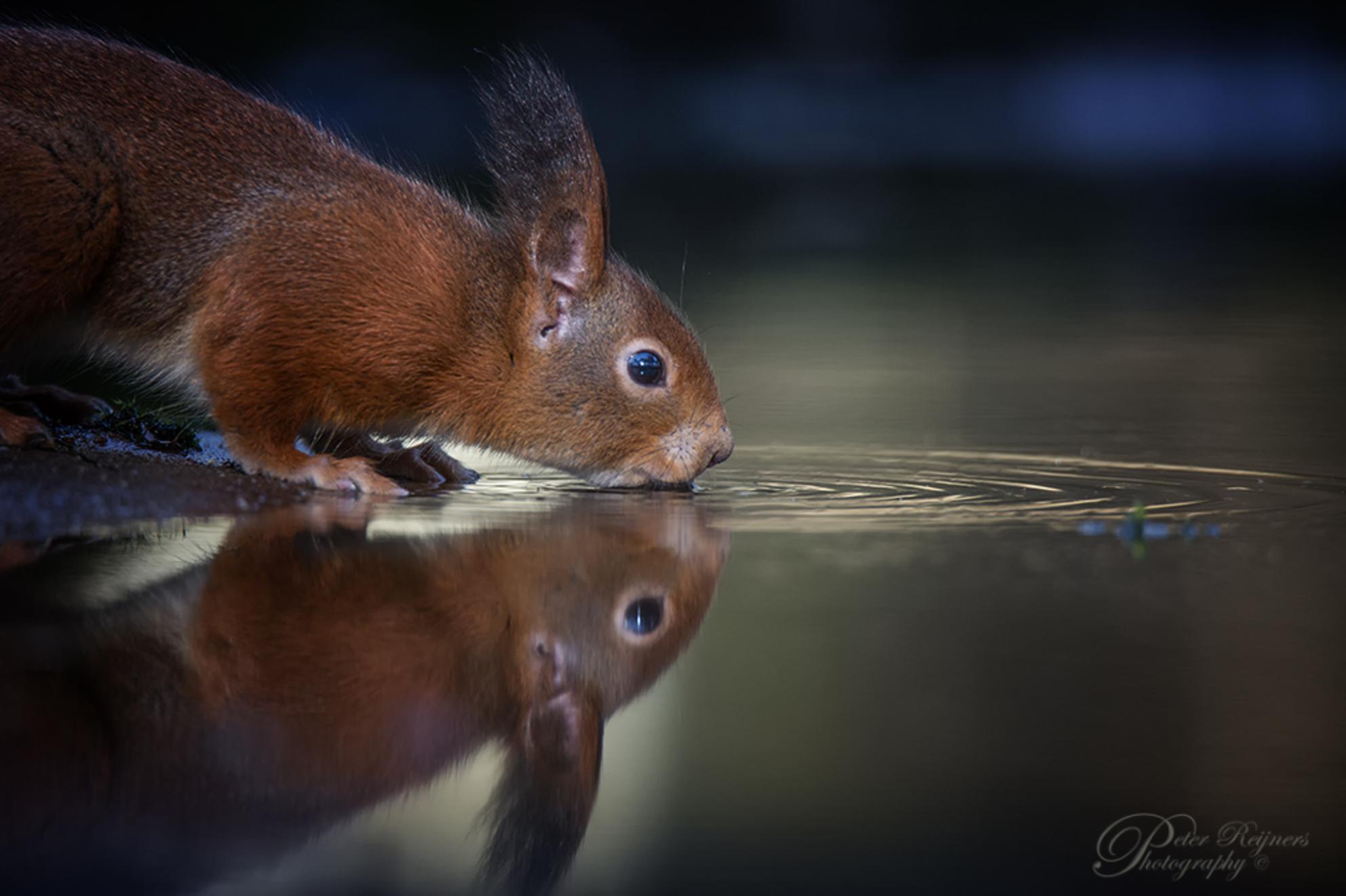 Dorst - Afgelopen zondag voor het eerst sinds 2019 weer eens echt voor diertjes op pad gegaan. Wat was het genieten in de natuur. Dit eekhoorntje had wel erg - foto door Peterr_zoom op 25-02-2021 - deze foto bevat: water, natuur, dieren, eekhoorn, Peterr, Canon 5D Mark III