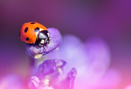 Dreamy Lady Bug