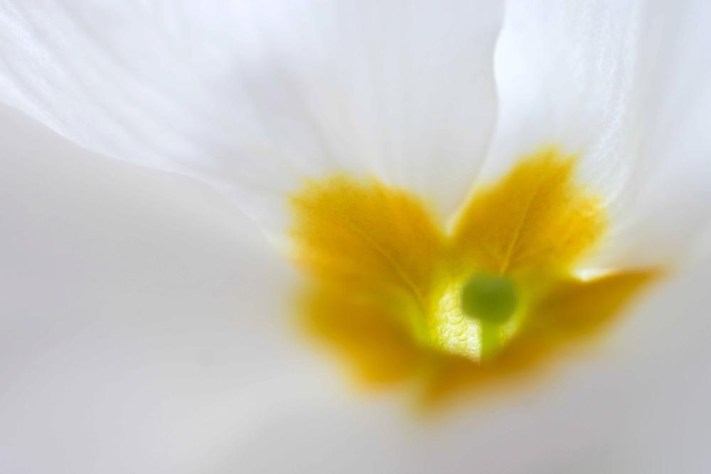 primulahart - Het hart van de primula met stempel. Groetjes Jeanne - foto door JeanneW op 04-04-2019 - deze foto bevat: macro, bloem, primula, stempel, primulahart