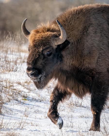 Europese Bizon - wisent - In Nederland leven 3 groepen wisenten (europese bizon). De stieren daarvan kunnen een stokmaat krijgen van 1.88 en een gewicht van 840 kg....geen gra - foto door Marja8032 op 15-02-2021 - deze foto bevat: natuur, sneeuw, winter, wildlife, wisent