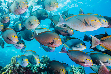 Vismuur! Surgeonfish