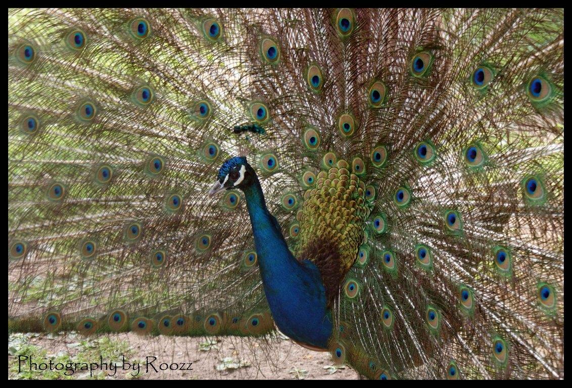 Pauw - Paringsdans van een mannetjespauw. Gemaakt tijdens workshop in Avifauna. Een van de eerste foto's na de overstap van compact naar een spiegelreflex.  - foto door Roozz op 03-07-2009 - deze foto bevat: kleur, blauw, vogel, oog, pauw, avifauna, paringsdans