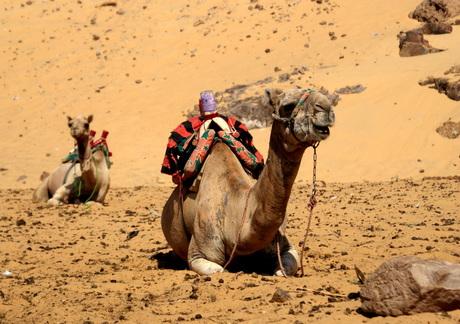 De kamelen uit Egypte