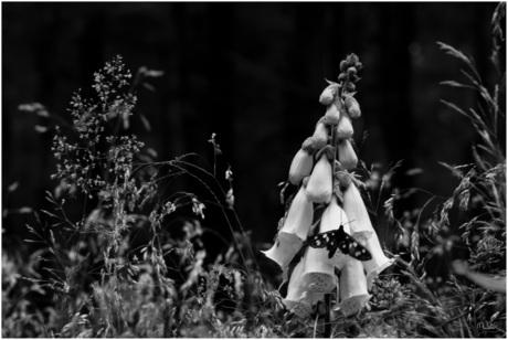 Phegea vlinder