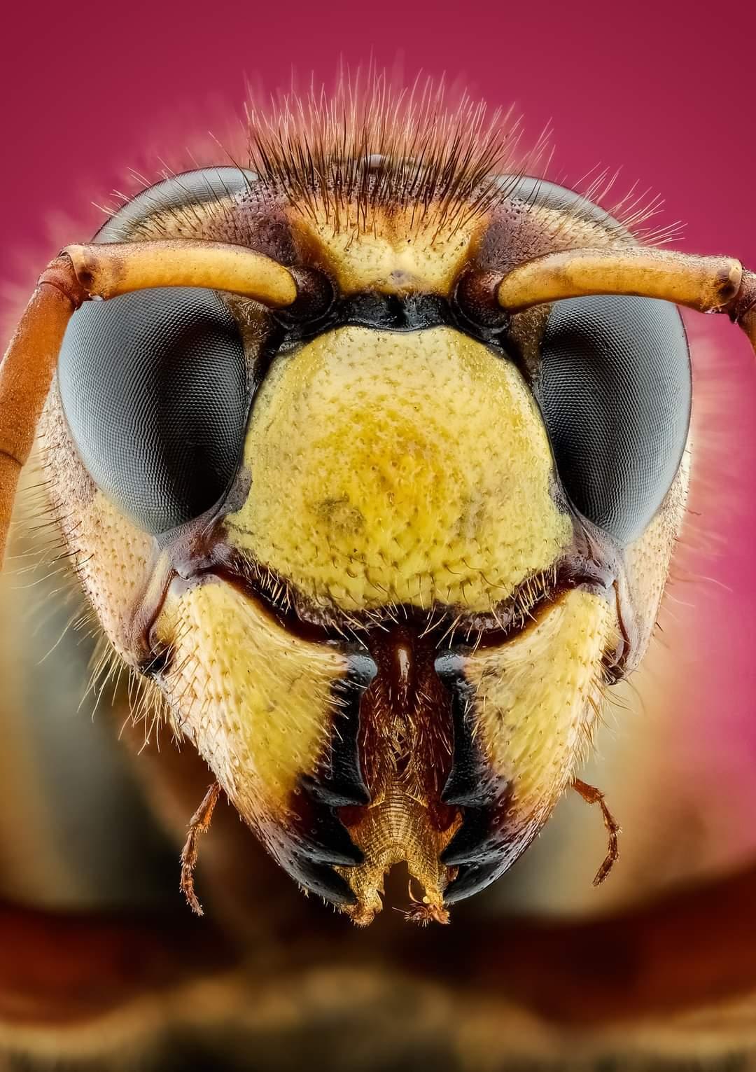 Hoornaar - ik heb ca 105 fotos gestacked met de Laowa25mm ultra macro  iso 400 f5.6 1/125 - foto door marcojongsma op 24-08-2020 - deze foto bevat: roze, macro, zon, wesp, natuur, geel, licht, hoornaar, tegenlicht, zomer, insect, dauw, dof, bokeh, focusstacking, focus stacking, extreme macro, extrememacro