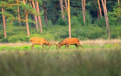 Herten gevecht