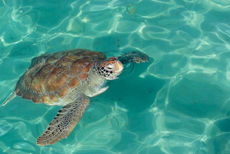 Zeeschildpad in Playa Grandi -Curaçao