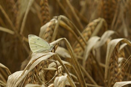 Vlinder op graan