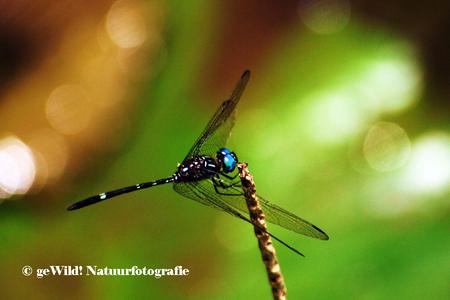 Libelle 2 - Deze libelle is wat soberder gekleurd dan de meeste tropische exemplaren. Dat neemt niet weg dat zijn helderblauwe kop behoorlijk in het oog springt. - foto door gewildnatuurfotografie op 25-04-2012 - deze foto bevat: blauw, libelle, insect, costa rica