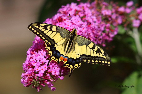 koninginnenpage (Papilio machaon) 2