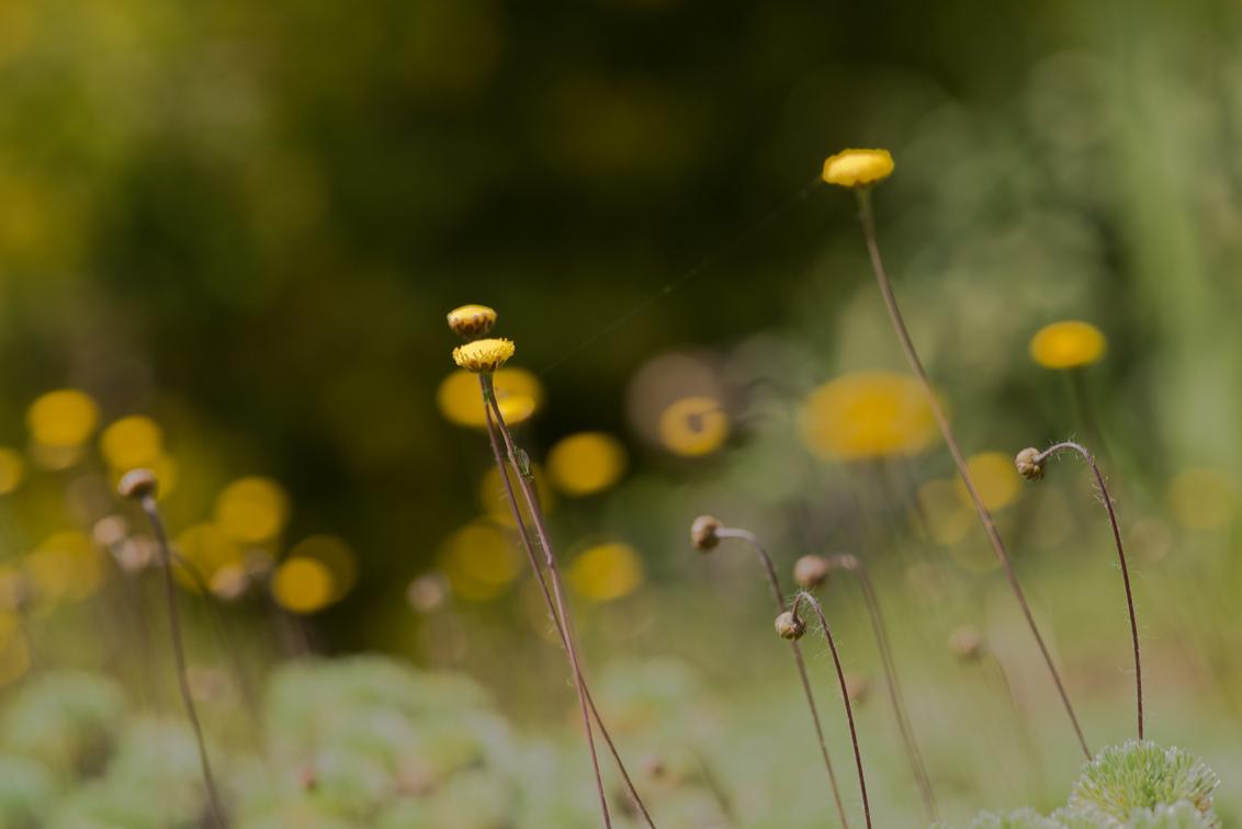 Zeeuwse Knopjes - De drukke versie...waarbij ik niet helemaal tevreden ben over de 2 bloemetjes bij/door / verstrengeld. omdat los iets rustiger beeld kan hebben. Maar - foto door dettyverbon op 22-05-2014 - deze foto bevat: macro, bloem, natuur