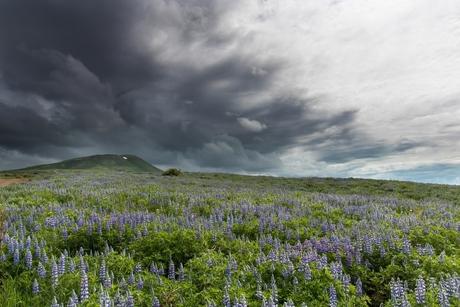 Lupines onder dreigende wolkenlucht