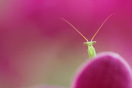 eigenwijsje - dit kleine eigenwijze miomantisje steelt keer op keer mijn hart ..al valt het niet mee deze op de foto te krijgen..het is een mannetje, en de mannetj - foto door dylano op 22-09-2015 - deze foto bevat: roze, macro, insect, dylano, bidsprinkhaantje