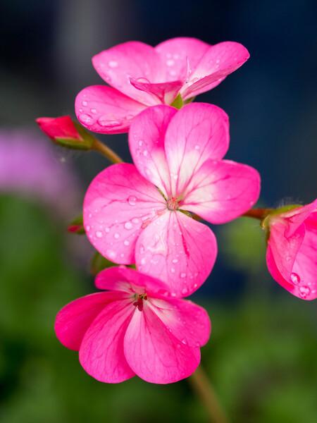 Voor de geranium(s) - Macro opname van een geranium - foto door klijnhan op 27-06-2014 - deze foto bevat: roze, macro, bloem, natuur, tuin