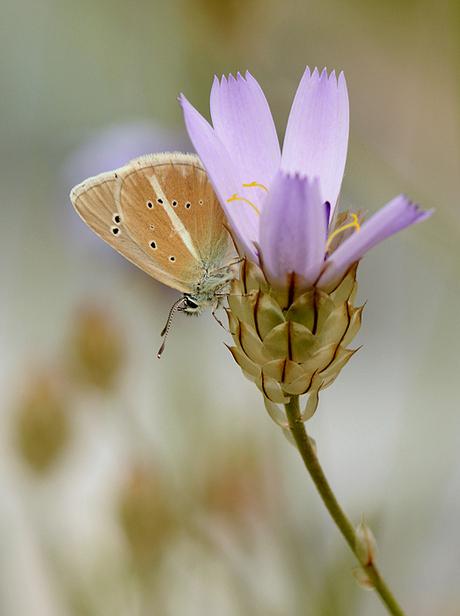 Witstreepblauwtje