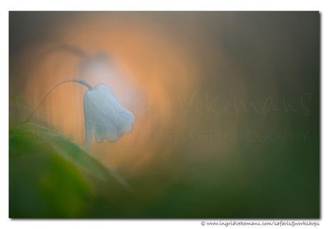 Soft Anemone Sunrise