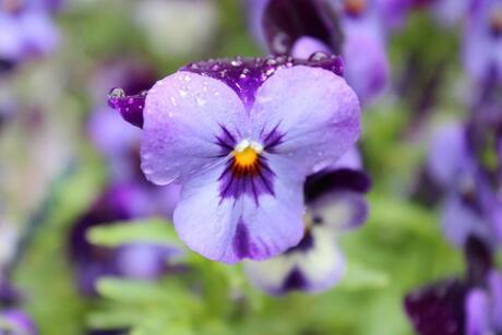 viooltje na een regenbui