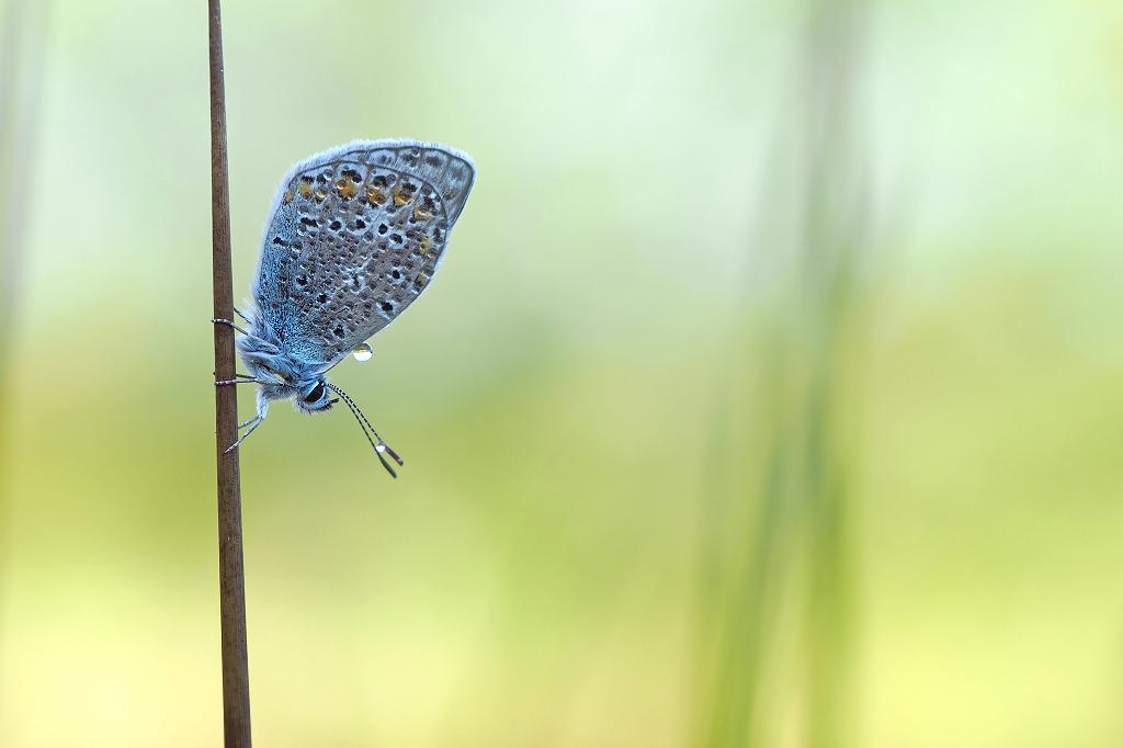 Icarus - Icarusblauwtje in de ochtend. - foto door Paul1973_zoom op 13-08-2016 - deze foto bevat: macro, natuur, vlinder, blauwtje, druppel, dauw, bokeh