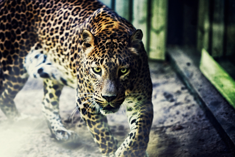 The Heat Seeking Panther