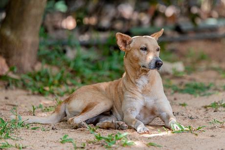 Zwerfhond op Sri Lanka