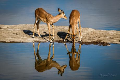 Impala, Etosha National park, Namibie