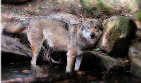 mijn poging van de wolf..........