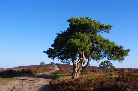 Denneboom