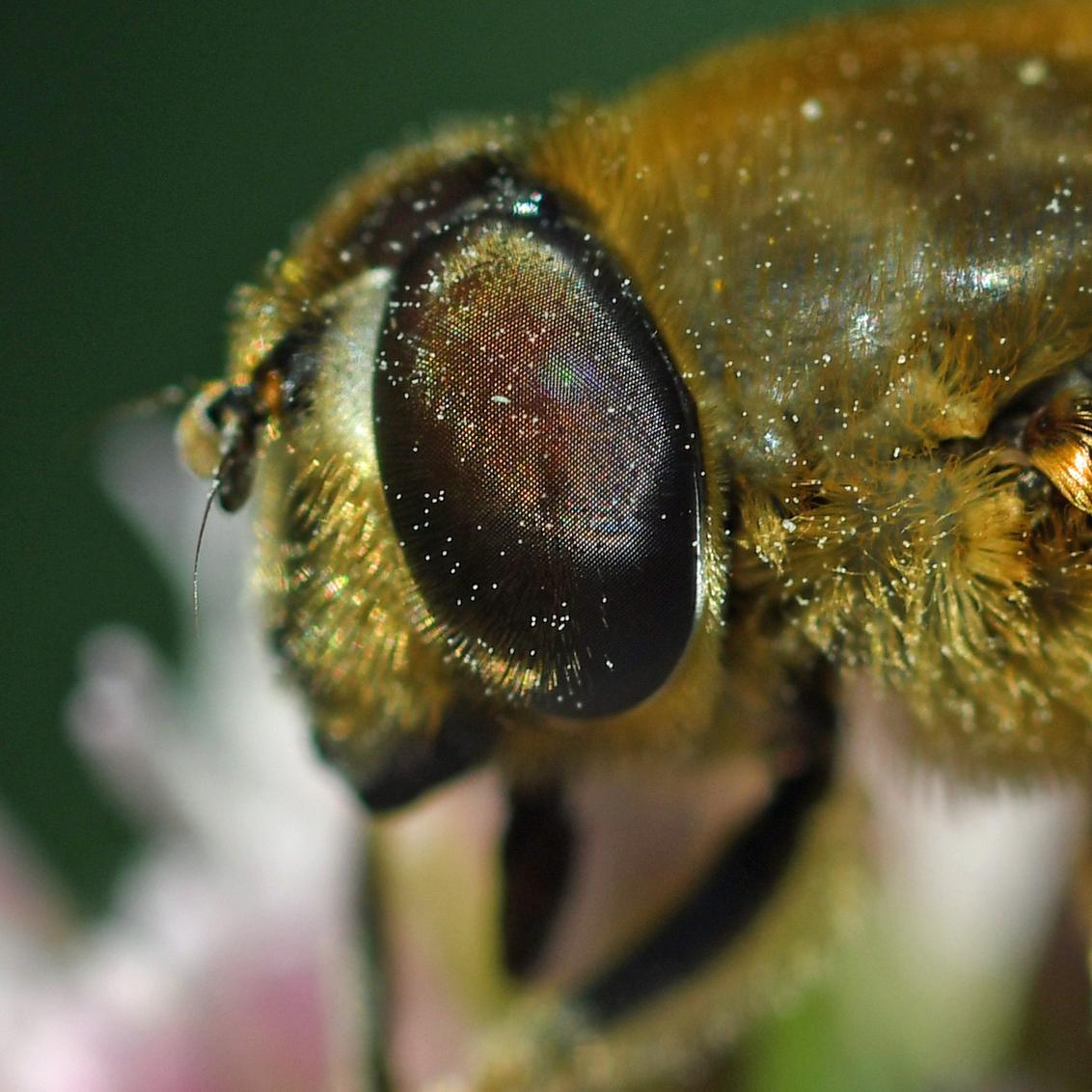 hoezo blind - Een blinde bij lijkt op een bij, maar is een zweefvlieg. Op die manier profiteert de vlieg van de negatieve ervaringen van vogels met stekende bijen. - foto door BasvanHulst-Kuiper op 11-08-2019 - deze foto bevat: macro, natuur, zweefvlieg, insect, natuurfotografie, macrofotografie, blinde bij, close up, Eristalis tenax, bas van hulst-kuiper, basvanhulst-kuiper