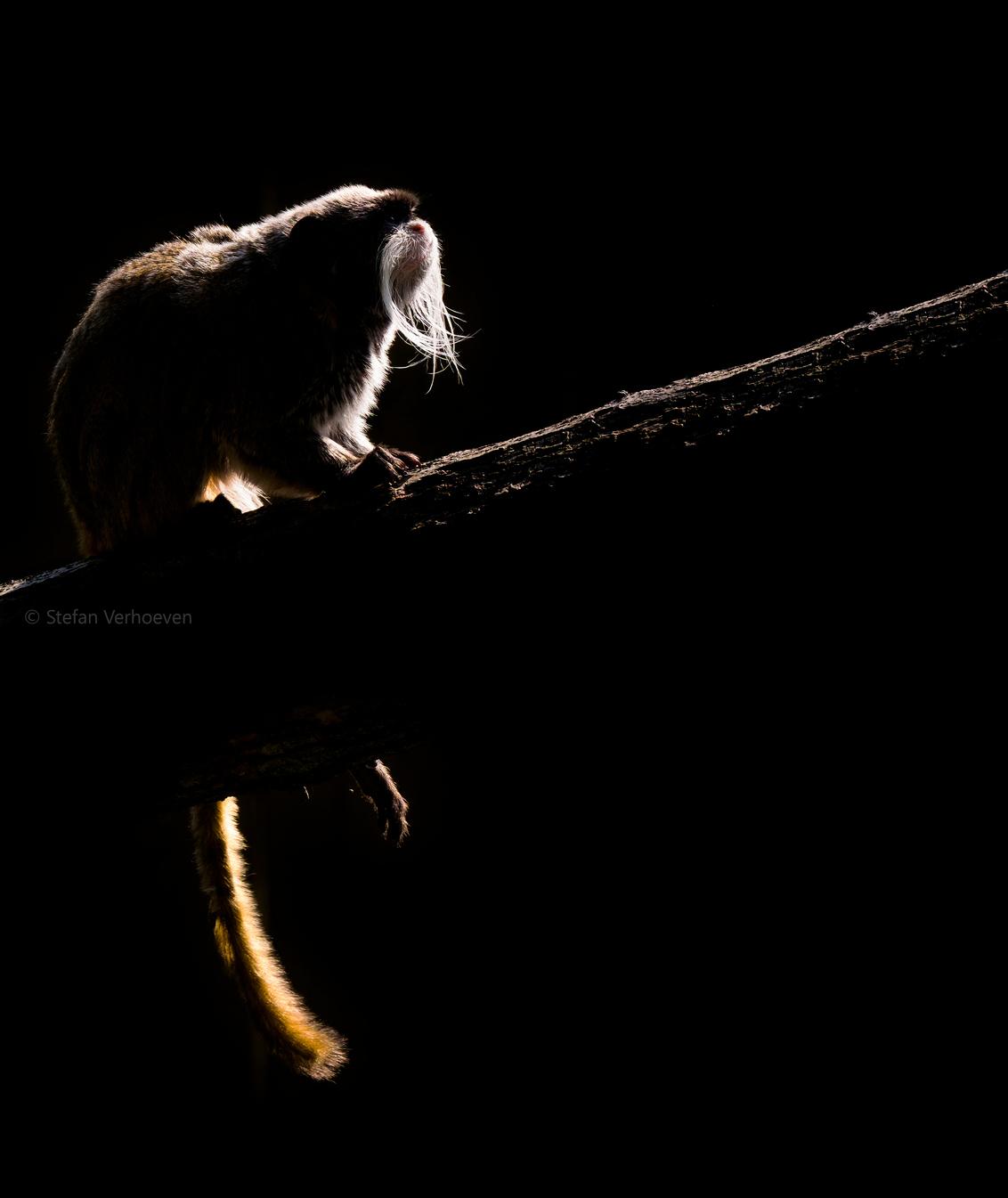 sv DSCF0604a - Keizertamarin silhouette - foto door stefanverhoevenphotography op 11-07-2018