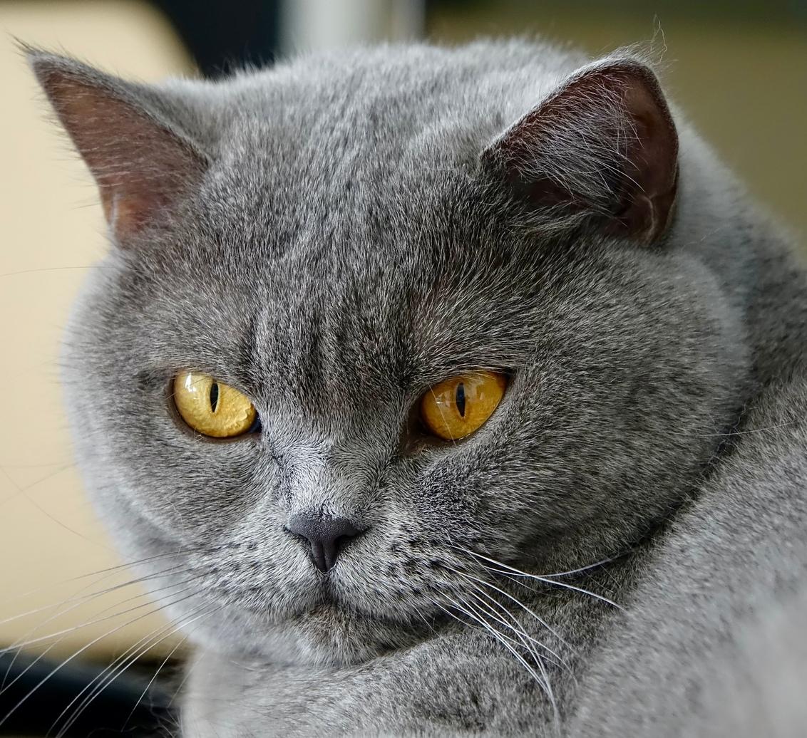 Britse korthaar - Kat Juul, met hele mooie ogen. - foto door BertTho op 28-02-2021 - deze foto bevat: poes, dieren, kat