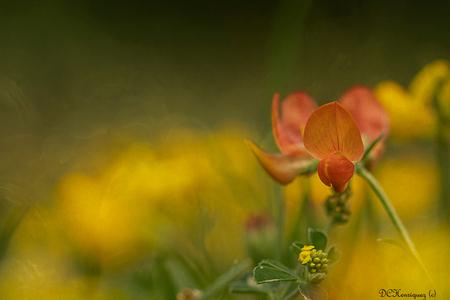 Rolklaver - Iedereen bedankt voor de fijne reacties bij mijn vorige opname. - foto door Dodsi op 07-07-2020 - deze foto bevat: macro, bloem, natuur, geel, licht, rolklaver, oranje, zomer, onkruid, bokeh