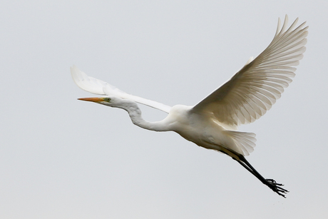 Grote witte reiger in vlucht.
