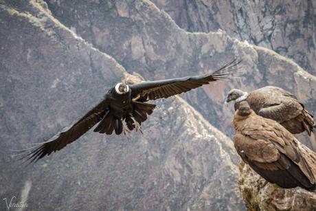 The Condor is landing - Cruz de Condor-5948